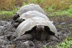 4 Schildkröten Galapagos